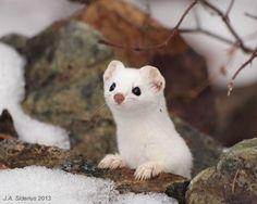 Armiño adorable y paisaje nevado