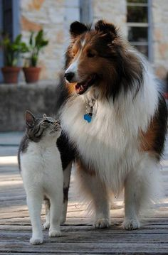 'Where shell we go for a walk today, Freddie?' ~ Cat & Rough Collie Dog…