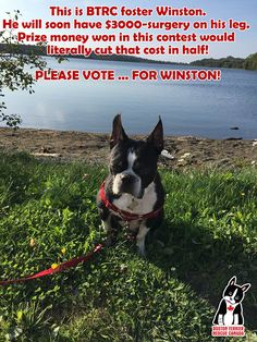 Please vote for BTRC-founder Ana-Maria Davies in the Pets Plus Us Champion Awards! Boston Terrier Rescue, Winner Announcement, In Boston, Champion, Awards, Canada, Pets, Animals, Animales
