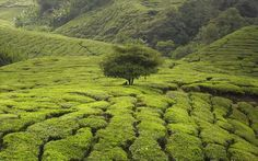 Cameron Highlands Μαλαισία