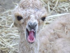 """AOBA 2013 National Alpaca Show Photo Competition / Category: Humor - Junior / First  Place / """" I know I am cute, but stop looking at Me! / Ashleigh Plante, Island Alpaca Company of Island Alpaca."""