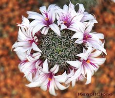 Flowers And Garden Ideas : Cactus Mammillaria fraileana Flowering Succulents, Cacti And Succulents, Planting Succulents, Planting Flowers, Rare Flowers, Exotic Flowers, Beautiful Flowers, Echeveria, Cactus House Plants