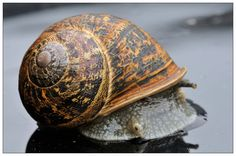 Snail Photo:  This Photo was uploaded by philwhite100. Find other Snail pictures and photos or upload your own with Photobucket free image and video host...