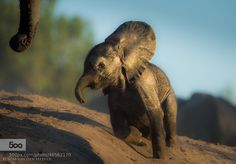 by Wim van den Heever - Photo 46562170 / Baby Elephant Images, Elephant Love, Elephant Pictures, Beautiful Creatures, Animals Beautiful, Baby Animals, Cute Animals, Baby Elefant, Cute Funny Babies