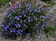 Image result for veronica oxford blue