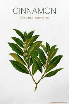 Cinnamon Herb - Side Effects, Uses and Benefits