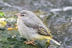 Took this photo on The Middlebrook Valley Trail, Bolton. Grey Wagtail, Birds, Nature, Trail, Animals, Naturaleza, Animales, Animaux, Bird