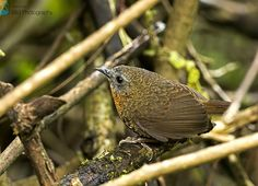 Rufous-throated Wren Babbler