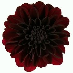 Black/red Dahlia.  Unique and hard to find flowers make a great hostess gift.