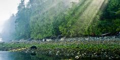 Out of the woods, a lone black bear heads towards the sea   British Columbia
