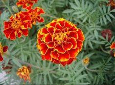 Отвар бархатцев 100 болезней лечит! Цветут везде простые цветы, а цена им - золото! Herbs For Health, Medicinal Herbs, Health Matters, Herbal Medicine, Health Remedies, Healthy Tips, Health Benefits, Herbalism, Projects To Try