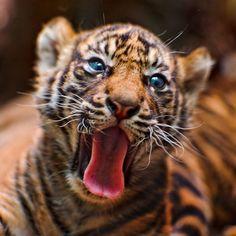 Sumatran tiger cub born recently at the Frankfurt Zoo.