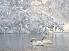 El llac dels cignes