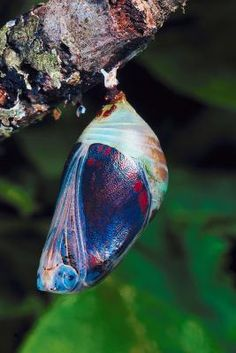 A man found a cocoon of a butterfly. He sat and watched the butterfly for several hours as it struggled to squeeze its body through the tiny hole. Butterfly Pupa, Butterfly Cocoon, Butterfly Chrysalis, Madame Butterfly, Beautiful Bugs, Beautiful Butterflies, Beautiful World, Moth Caterpillar, Bugs And Insects