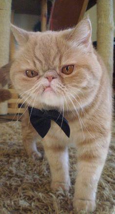 World, meet Griffin von Porkchop—Grumpy Cat's new competition.