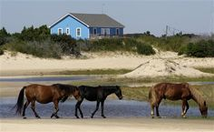 To See The Wild Horses On North Carolina Beach