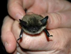 Bat-California Myotis.  I would love to have a bat.