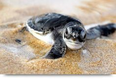 Loggerhead turtles & turtle eggs on the beach of Cape Verde islands Sal, Boa Vista, Santiago. Nesting & hatching