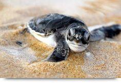 Loggerhead turtles & turtle eggs on the beach of Cape Verde islands Sal, Boa Vista, Santiago. Nesting & hatching