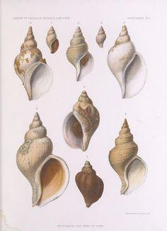 Mollusques provenant des campagnes de l'Hirondelle et de la Princesse-Alice dans les mers du Nord  Monaco :Impr. de Monaco,1912.  Biodiversitylibrary. Biodivlibrary. BHL. Biodiversity Heritage Library