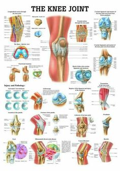 The Knee Joint Laminated Anatomy Chart - Massagetherapie, Fysiotherapeut en Anatomie Muscle Anatomy, Body Anatomy, Human Anatomy, Hip Anatomy, Anatomy Organs, Heart Anatomy, Anatomy Drawing, Knee Joint Anatomy, Knee Muscles Anatomy