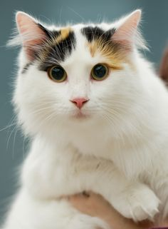 Turkish van calico-style!
