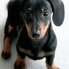 My husband is wanting a weenie dog, they are pretty cute!