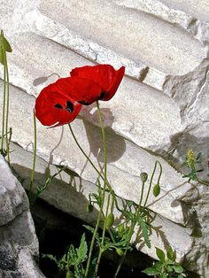 Poppies - you know spring has arrived in Greece. They turn up everywhere.