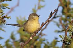 CALANDRITA - Tyrannidae - Argentina