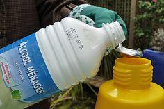 L'alcool joue un rôle répulsif qui incite la cochenille à se déplacer, ce qui la rend plus vulnérable au traitement. ©www.map-photos.com – N. & P. Mioulane