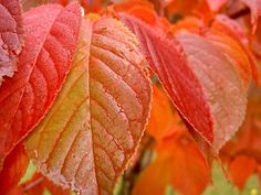 Five of the Best Trees for Autumn Colour Tree Leaves, Plant Leaves, Katsura Tree, Acer Rubrum, Sweet Gum, Rosy Pink, Yellow Leaves, Deciduous Trees, Small Trees