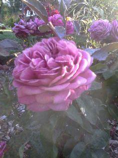 #omapiha ruusuja