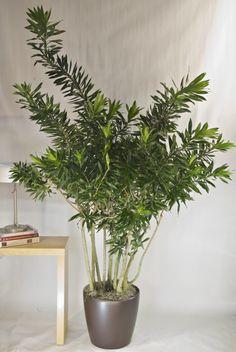Indoor plants.  Reflexa (Song of Jamaica).