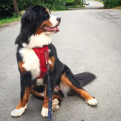Looking right at the weekend! #friyay #quinntheeskimobear #bernese #bernesedaily #dailybernese #bernesemountaindoglovers #bernesemountaindog #worldofberners #gentlegiantoftheday #dogstagram #petstagram #dogsofig #lacyandpaws #worldofcutepets #lifewithdogs #ilovemydog #instagood #instadog #dogsofig #dogsofinstagram #instapup #igdaily by quinntheeskimobear