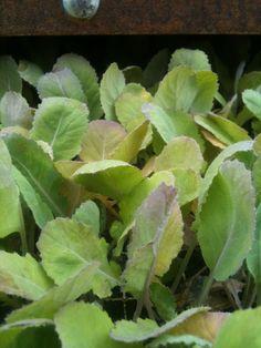 Cabbage Plant, Plugs, Plant Leaves, Corks