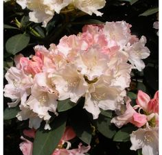 Rhododendron Dreamland AGM