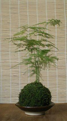 Japanese Moss Ball Bonsai Kokedama Asparagus Fern door arkwoodsigns