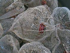 Seed Pods by brewbooks on Flickr (Some weird seed pods - dried out.)