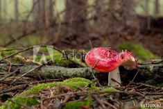 Russula emetica poisonous mushroom in forest Poisonous Mushrooms, The Creator, Stuffed Mushrooms, Image, Photography, Stuff Mushrooms, Fotografie, Photography Business, Photo Shoot