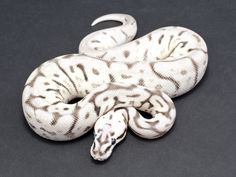 Firebee Leopard SK Axanthic Ball Python by JD Constriction Pretty Animals, Animals Beautiful, Cute Animals, Cute Reptiles, Reptiles And Amphibians, Dog Drawing Simple, Burmese Python, Bearded Dragon Cute, Serpent Snake