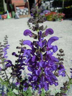 Salvia pratensis 'Twilight Serenade'
