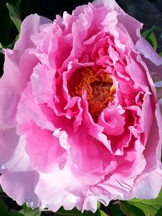 Pink tree peony in full bloom