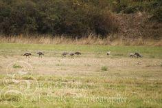 Sarah's Scenes: Sandhill Cranes