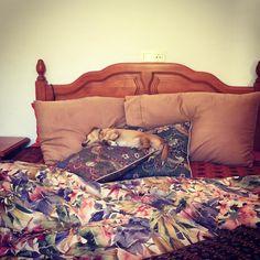 #chiweenie #siesta Lawns, The Originals, Bed, Furniture, Instagram, Home Decor, Stream Bed, Interior Design, Home Interior Design