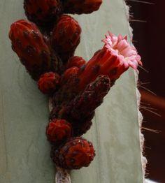 Mexican Fence Post-Desert Botanical Garden