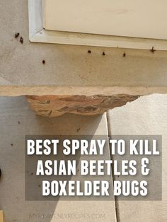 Best Spray to Get Rid of Asian Beetles/Boxelder Bugs- ladybug beetles.