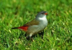 Swee waxbill Animals For Kids, Animal Pictures, Best Friends, Creatures, Hummingbirds, Wisconsin, Nature, Girlfriends, Beat Friends