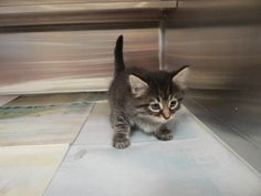 ADOPTED - Betty - URGENT - PIKE COUNTY ANIMAL SHELTER in Pikeville, Kentucky - ADOPT OR FOSTER - Female Domestic SH Mix KITTEN