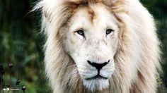 White Lion Images Collection  1920×1080 White Lion Images | Adorable Wallpapers