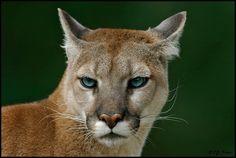 E.J. Peiker, Nature Photographer    http://www.ejphoto.com/images_CA/CA_Cougar07.jpg